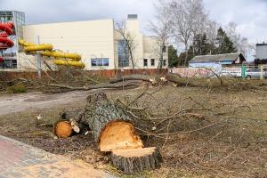 Wycinka drzew koło pływalni przy ul. Witosa